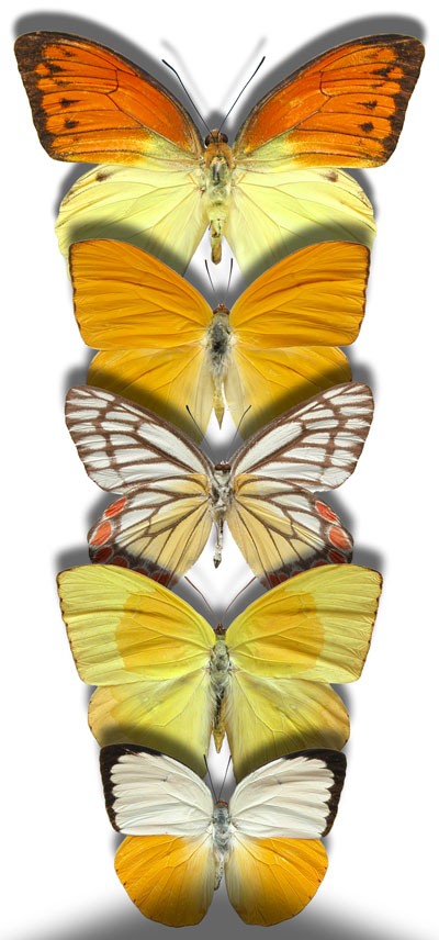 Pieridae-Butterfly