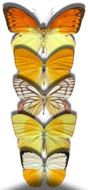 http://butterflies.aa6g.org/Butterflies/Tropical/pieridae_tb.jpg